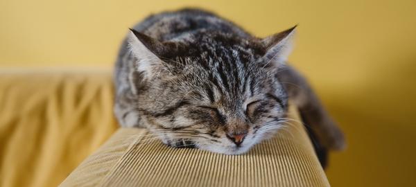 Schlafende Katze auf Sofalehne
