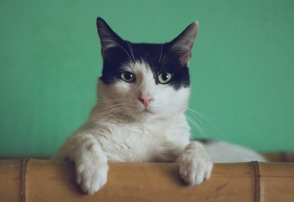 Weiß-Schwarze Katze mit grünem Hintergrund guckt in Kamera